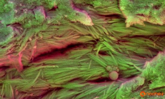 کشف خون و بافت حیاتی در فسیل ۷۵ میلیون سالهی دایناسور