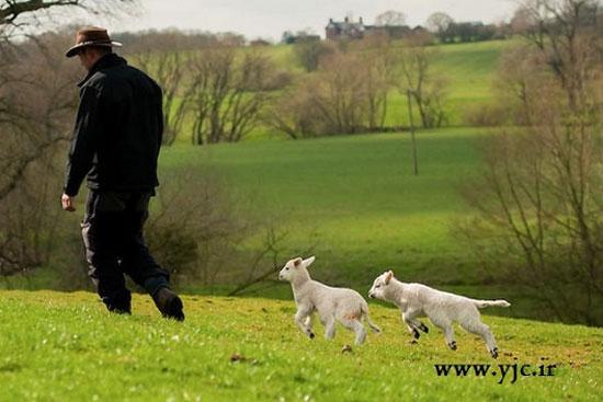 گوسفندهای شش پا این کشاورز +عکس