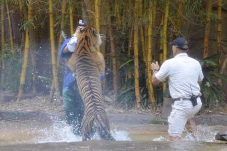 حمله ببر باغ وحشی در استرالیا به مامور باغ وحش
