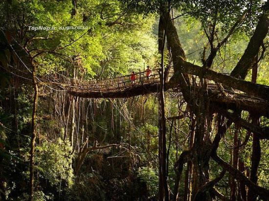 پلی از ریشه درختان زنده در هند +عکس
