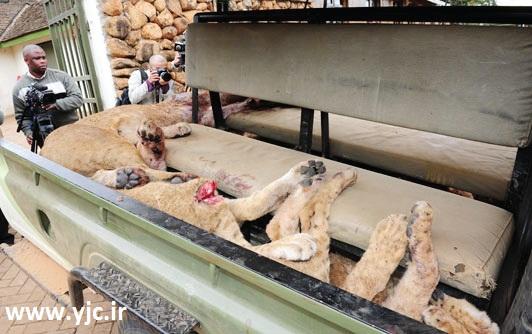 کشتار تلافیجویانه شیرها