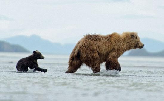 (تصاویر) سواری کردن توله خرس بر پشت مادر