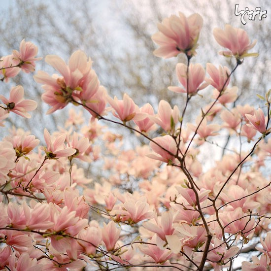 شکوفه های گیلاس در نیویورک