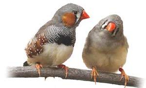 فنچ,پرنده فنچ,اصول نگهداری پرنده فنچ