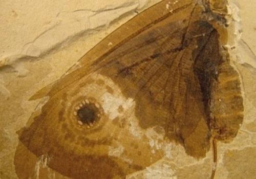 اخبار علمی,خبر های علمی,فسیل پروانه