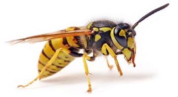 درمان های خانگی,درمان های خانگی جای نیش زنبور