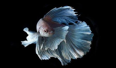اخبار,اخبار گوناگون,ماهی های تزئینی