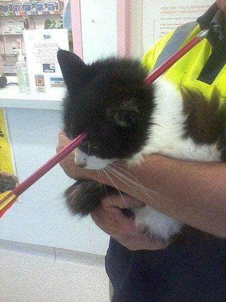عمل جراحی موفقیت آمیز بیرون آوردن یک تیر از سر گربه ای در نیوزیلند
