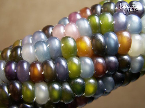 ذرت هایی به شکل جواهرات رنگارنگ!
