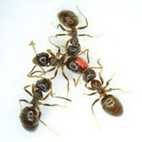 عفونت قارچی,بیماری مورچه ها,مورچه های مریض,مورچه بیمار